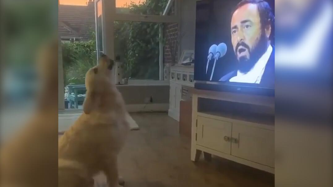 """Pies usłyszał śpiew Pavarottiego, podszedł do telewizora i """"zaśpiewał"""" z nim w duecie"""