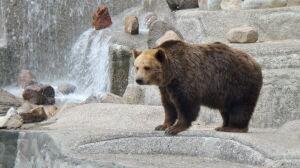 Wpadł do basenu niedźwiedzi. Był pijany, chciał zrobić selfie