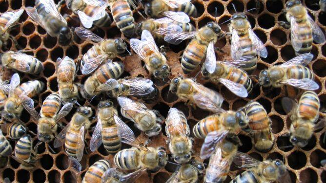 """""""Pijane"""" pszczoły spadały z nieba"""