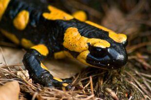 Upał zniechęcił salamandry do seksu