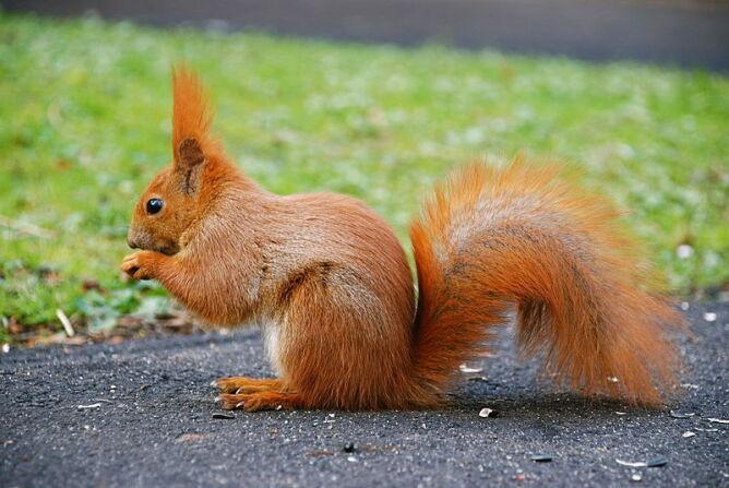 Wiewiórka oskarżona o stalking