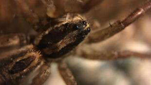 """""""Efekt pająka"""". Maleńki drapieżnik zmienia dietę i daje szansę Arktyce"""