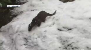 W śniegu bawią się zwierzęta z londyńskiego zoo