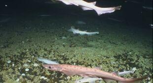Naukowcy natrafili na ogromny żłobek rekinów (Marine Institute, INFOMAR, EMFF)